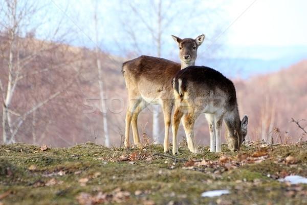 Szarvas szépség zöld park gyönyörű áll Stock fotó © taviphoto