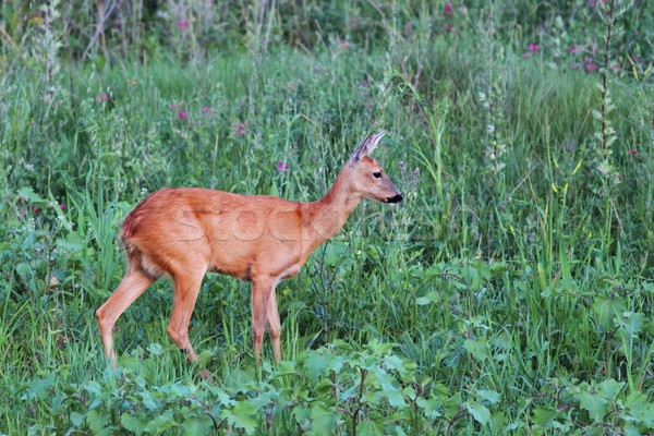 female roe deer in the green field Stock photo © taviphoto