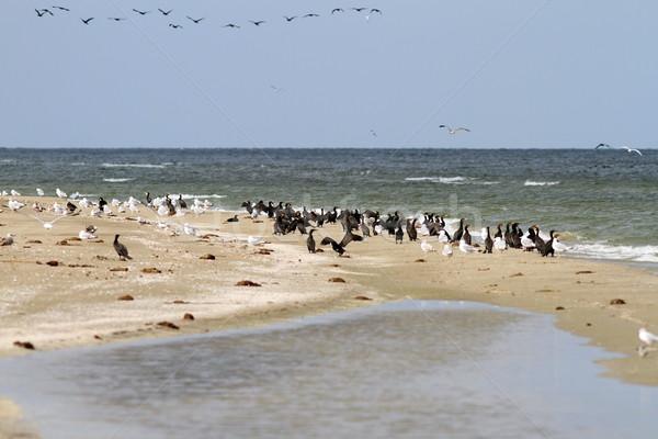 cormorant colony on the beach Stock photo © taviphoto