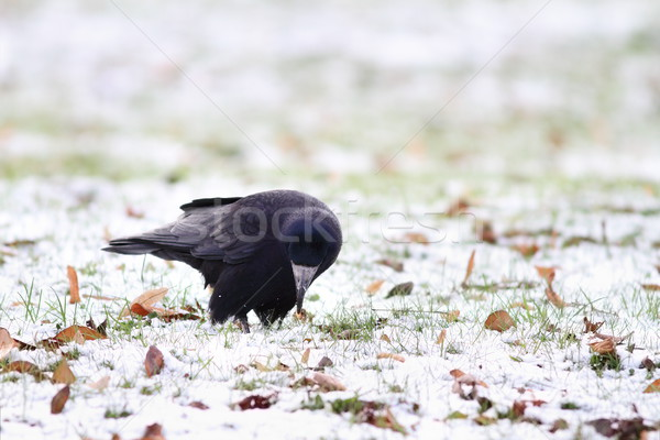 black crow foraging in a winter day Stock photo © taviphoto