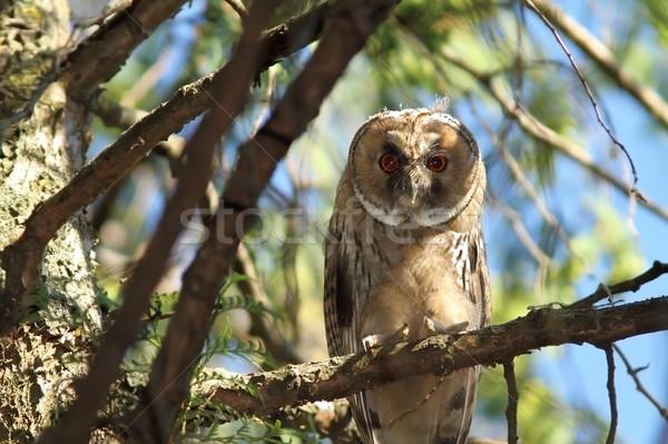 несовершеннолетний долго совы Постоянный филиала дерево Сток-фото © taviphoto