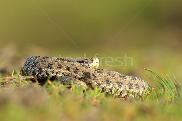 Vrouwelijke hongaars weide gras slang dier Stockfoto © taviphoto