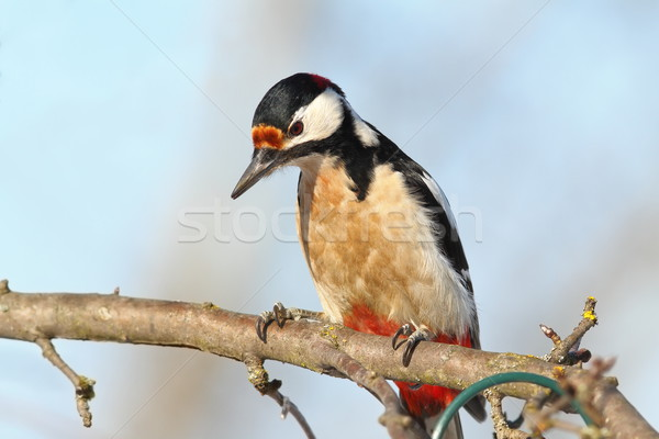closeup of great spotted woodpecker Stock photo © taviphoto