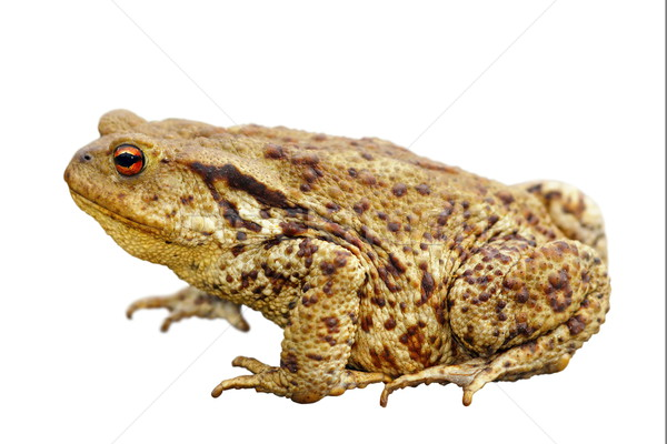toad over white Stock photo © taviphoto
