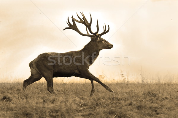 sepia image of red deer stag Stock photo © taviphoto