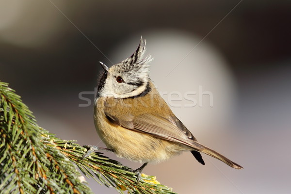 european crested tit on spruce branch Stock photo © taviphoto