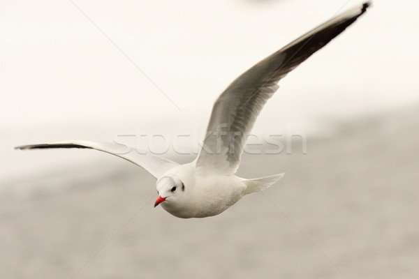 black headed gull in the air Stock photo © taviphoto