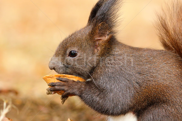 Cute мало белку еды гайка европейский Сток-фото © taviphoto
