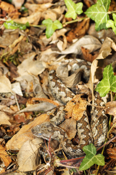 camouflage of nose horned viper in natural habitat Stock photo © taviphoto