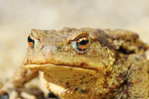 ヨーロッパの ブラウン ヒキガエル 肖像 マクロ 画像 ストックフォト © taviphoto
