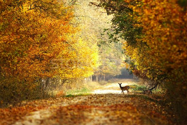 Mooie bos weg herten reekalf Stockfoto © taviphoto