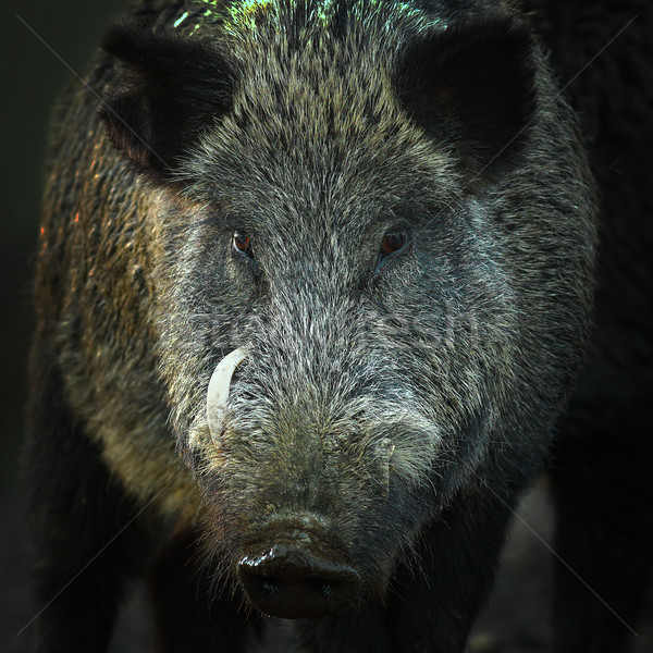 portrait of large wild boar Stock photo © taviphoto