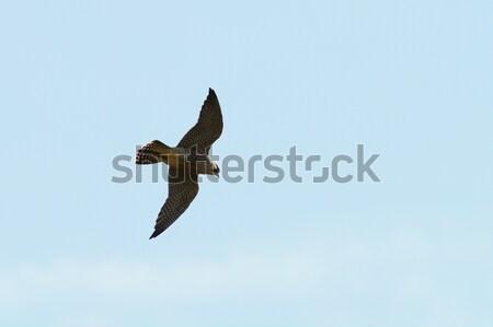Halcón vuelo cielo naturaleza Foto stock © taviphoto