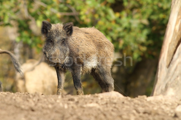 one wild boar Stock photo © taviphoto