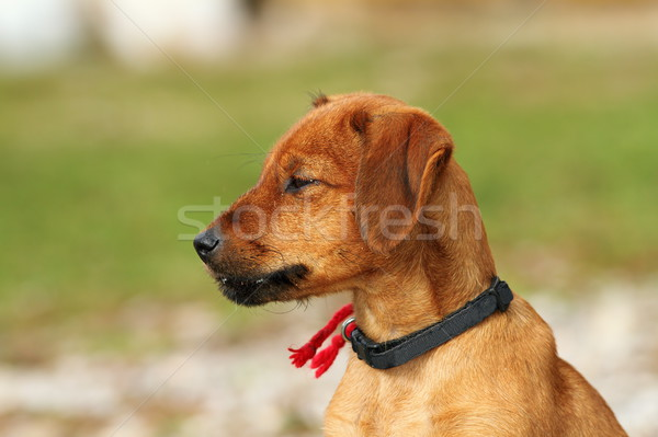 Hongaars jachthond outdoor portret cute puppy Stockfoto © taviphoto