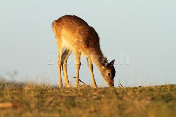 young fallow deer grazing Stock photo © taviphoto