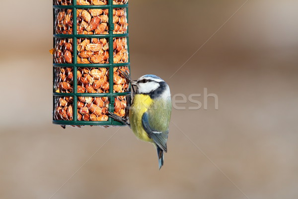 blue tit on garden bird feeder Stock photo © taviphoto