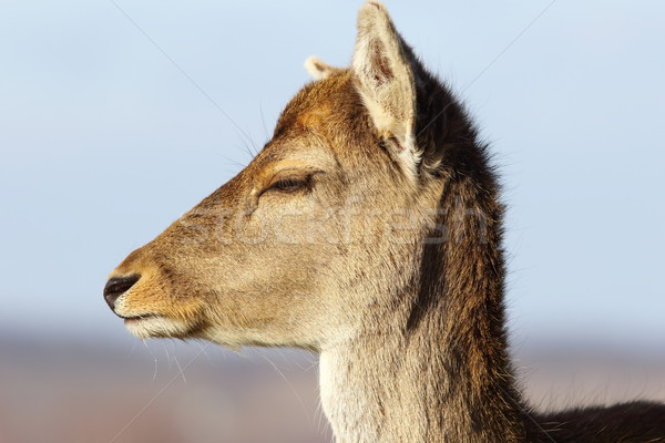 closeup of fallow deer doe head Stock photo © taviphoto
