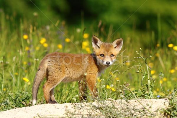 little fox near the den Stock photo © taviphoto