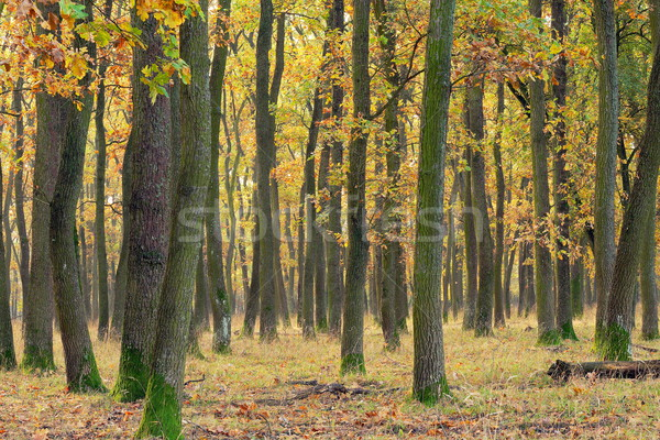 detail of oak forest in autumn Stock photo © taviphoto