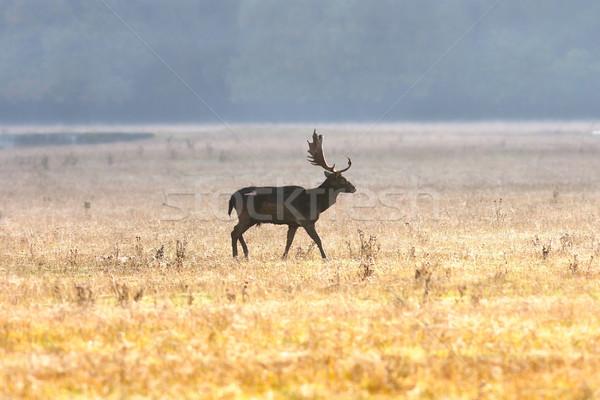 fallow deer buck on field Stock photo © taviphoto