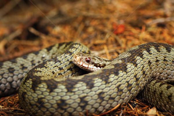 beautiful closeup of european crossed viper Stock photo © taviphoto