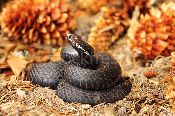 Stock photo: black common viper on forest ground