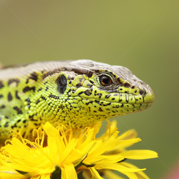 sand lizard basking on dandelion flower Stock photo © taviphoto