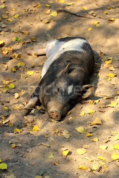 Tembel domuz uyku gölge ışık çiftlik Stok fotoğraf © taviphoto