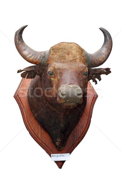 絶滅危惧種 古い 狩猟 トロフィー 牛 レトロな ストックフォト © taviphoto