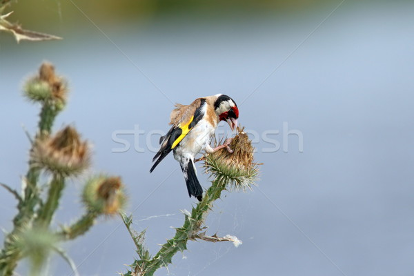 european goldfinch on thistle flower Stock photo © taviphoto