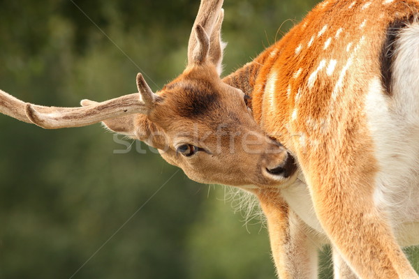 Geyik arama doğa hayvan erkek güzel Stok fotoğraf © taviphoto