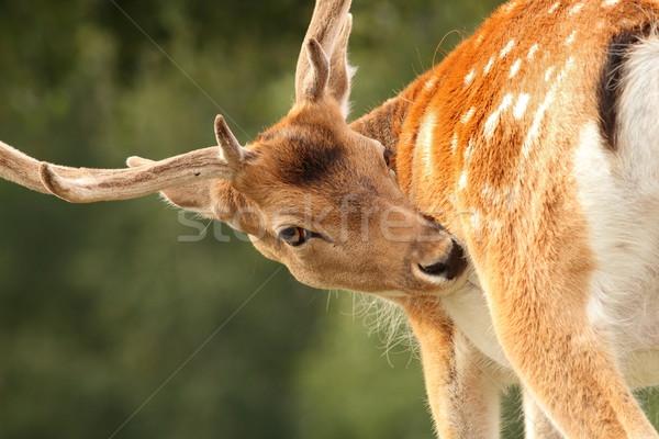 Veado natureza animal masculino belo Foto stock © taviphoto