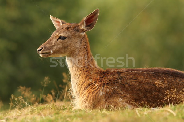 fallow deer resting on glade Stock photo © taviphoto