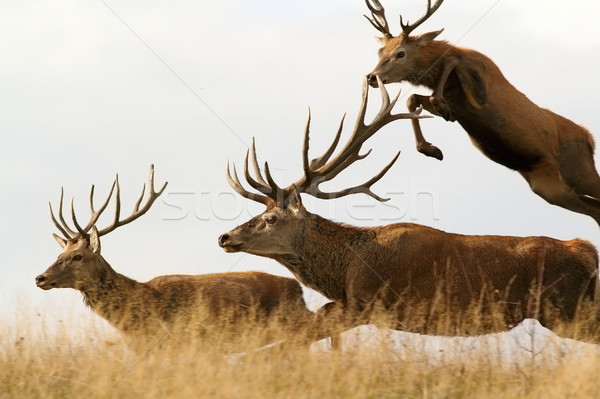 red deer males running together Stock photo © taviphoto
