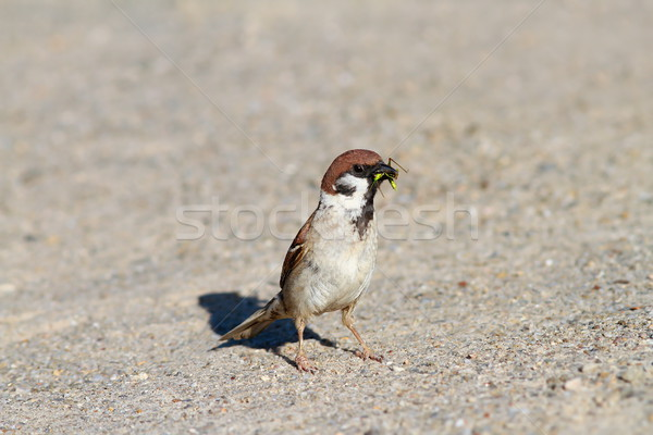 house sparrow catching a grasshopper  Stock photo © taviphoto