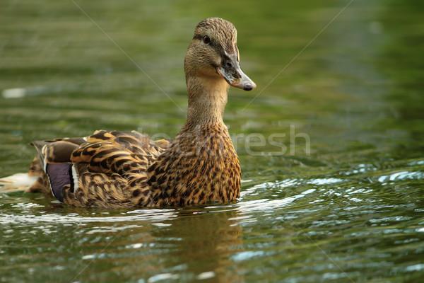 female mallard swimming towards the camera Stock photo © taviphoto