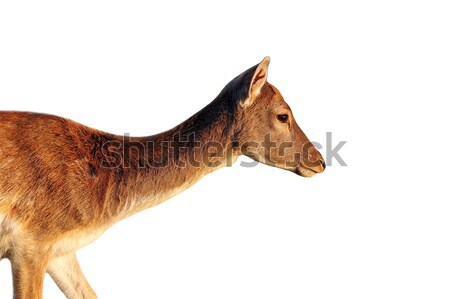 isolated side view of a deer doe Stock photo © taviphoto