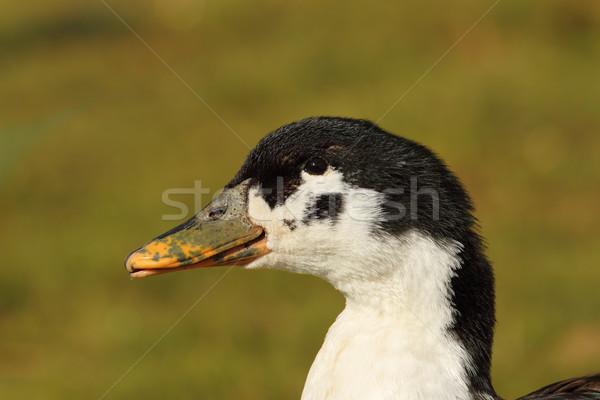 portrait of domestic duck  Stock photo © taviphoto
