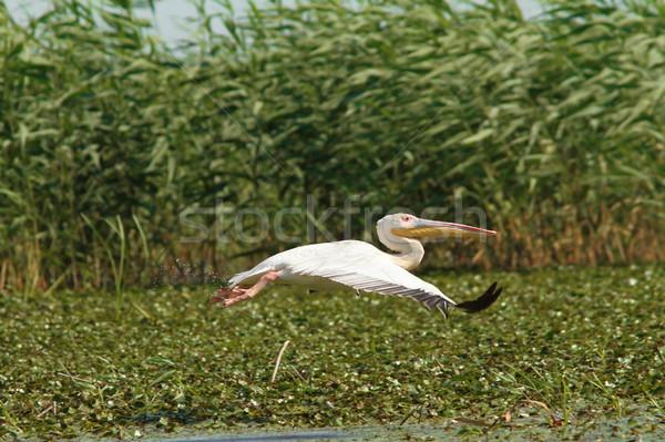 Nagyszerű repülés Duna delta Romania természet Stock fotó © taviphoto