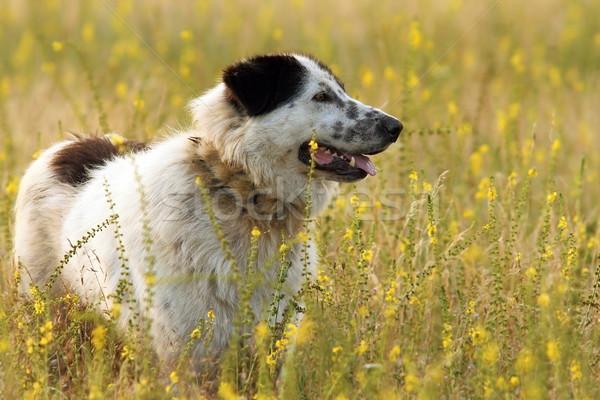 румынский красивой пастух собака Постоянный лет Сток-фото © taviphoto
