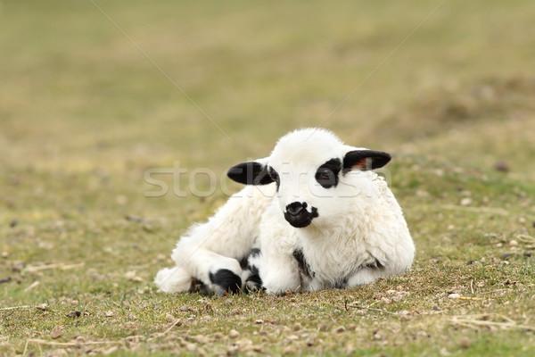 Faul weiß Lamm ruhend grünen Wiese Stock foto © taviphoto