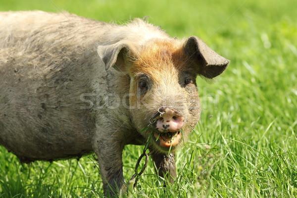 смешные свинья портрет ребенка трава счастливым Сток-фото © taviphoto