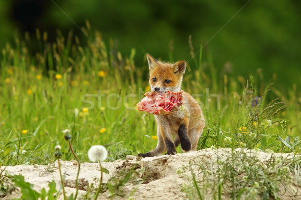 fox cub eating meat Stock photo © taviphoto