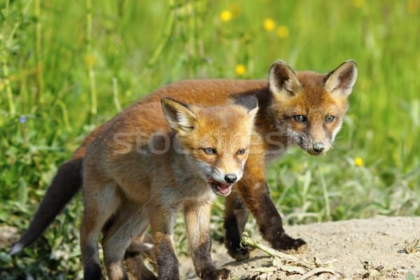 european red fox wild cubs Stock photo © taviphoto