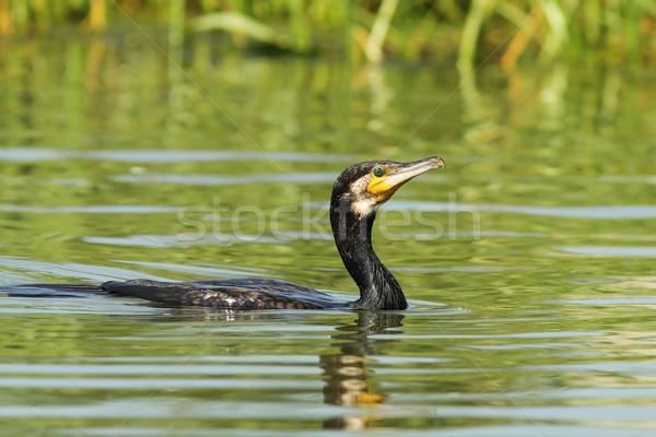 Stock fotó: Nagyszerű · tavacska · víz · toll · fekete · úszik