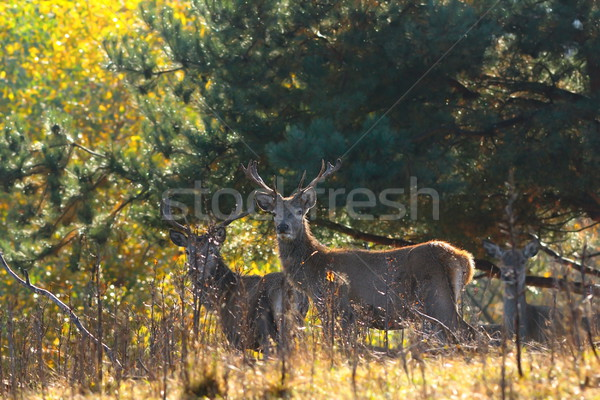 Stock photo: red deer stags