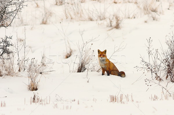 wild european red fox in snow Stock photo © taviphoto