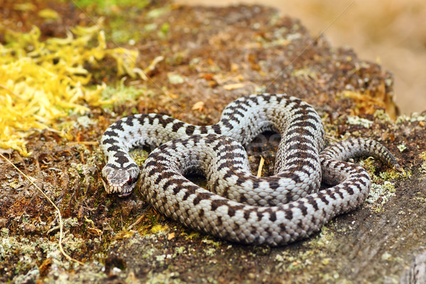 common european adder basking in natural habitat Stock photo © taviphoto