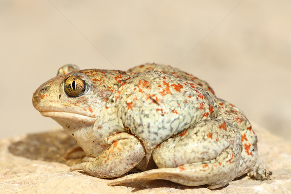 colorful garlic toad Stock photo © taviphoto